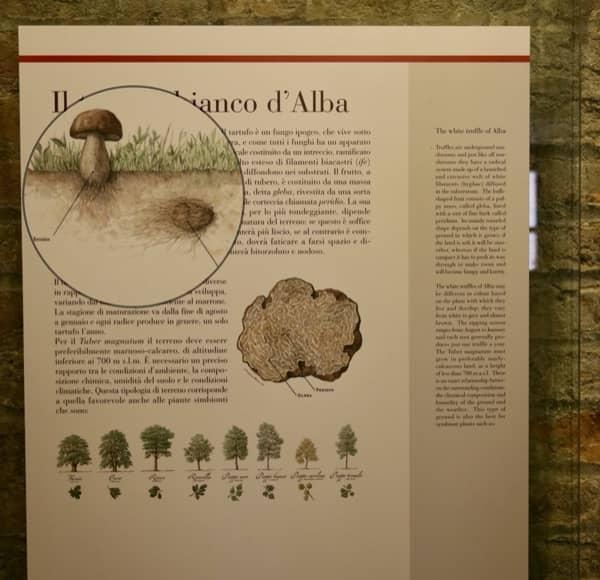 Rysunek trufli pod ziemią, rycina pochodzi z muzeum na zamku Grinzane Cavour